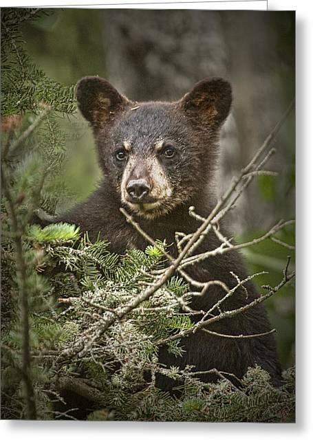 Black Bear Cub Peeking Over Pine Branches Greeting Card by Randall Nyhof