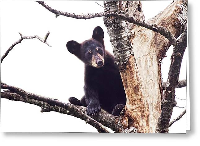 Black Bear Cub Up In A Dead Tree In Northern Minnesota Greeting Card by Randall Nyhof