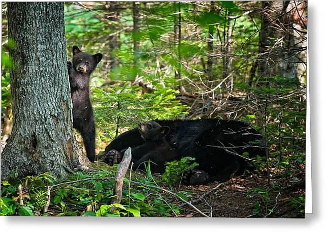 Black Bear Cubs Stand Watch While Momma Bear Sleeps. Greeting Card