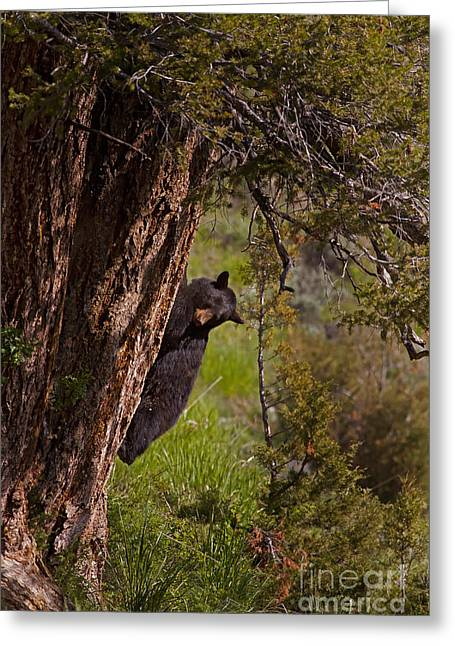 Greeting Card featuring the photograph Black Bear In A Tree by J L Woody Wooden
