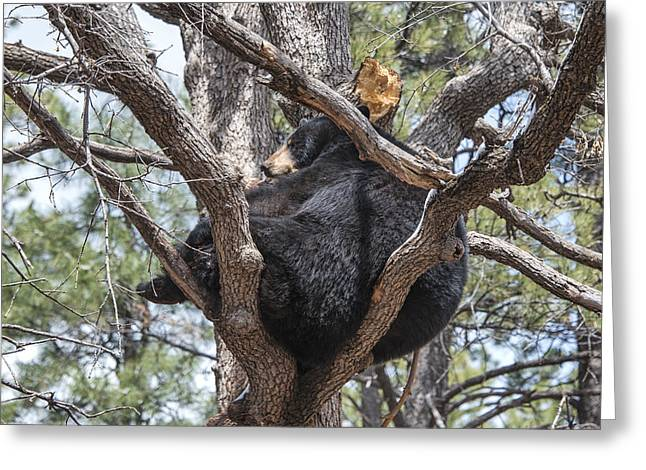 Black Bear In A Tree Greeting Card