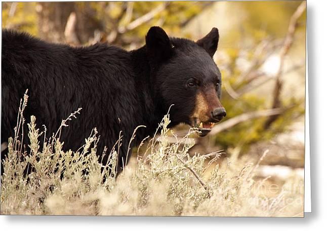 Black Bear Showing Teeth Greeting Card by Max Allen