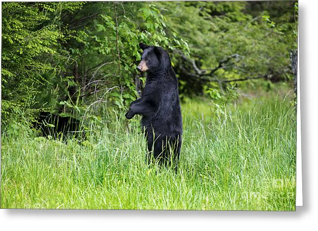 Black Bear Standing Upright Looking Greeting Card by Dan Friend