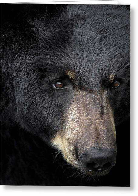 Black Bear Greeting Card by TnBackroadsPhotos