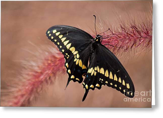 Black Beauty Greeting Card