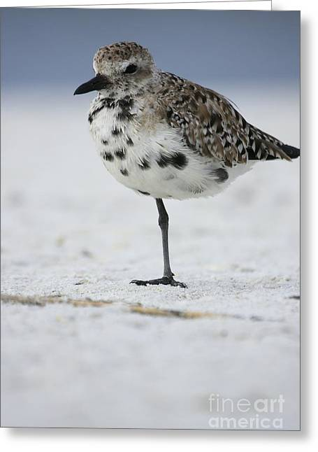 Black-bellied Plover Greeting Card