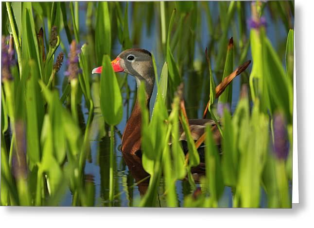Black-bellied Whistling Duck Greeting Card by Maresa Pryor
