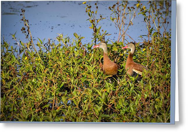 Black-bellied Whistling Ducks Greeting Card by Carolyn Marshall