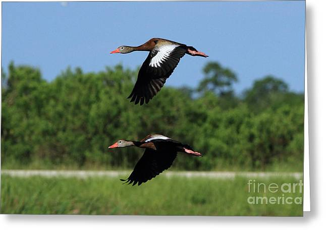 Black-bellied Whistling Ducks Greeting Card