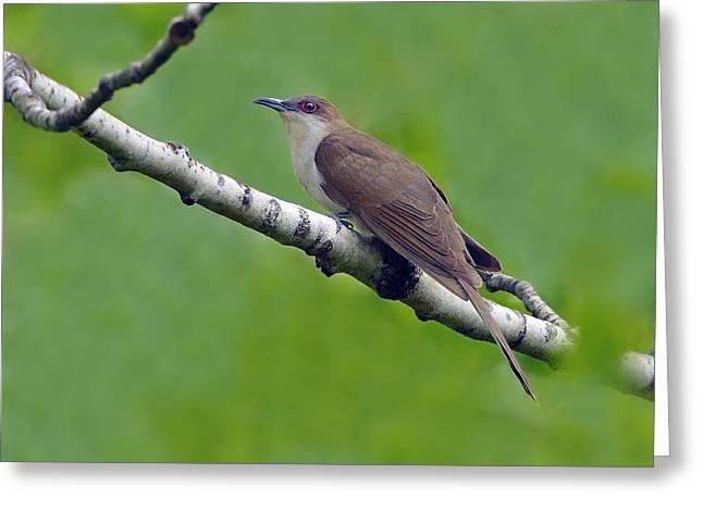 Black-billed Cuckoo Greeting Card by Tony Beck