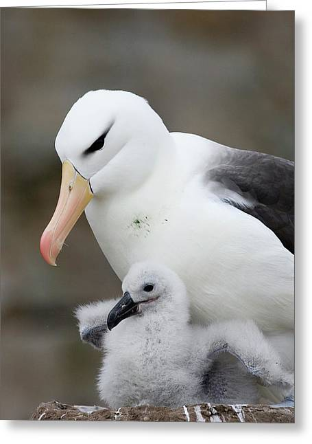 Black-browed Albatross And Chick Greeting Card by Suzi Eszterhas