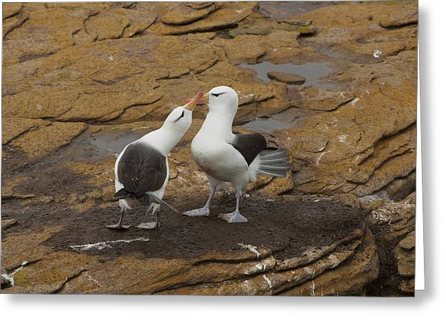 Black-browed Albatross, Courting Pair Greeting Card by John Shaw
