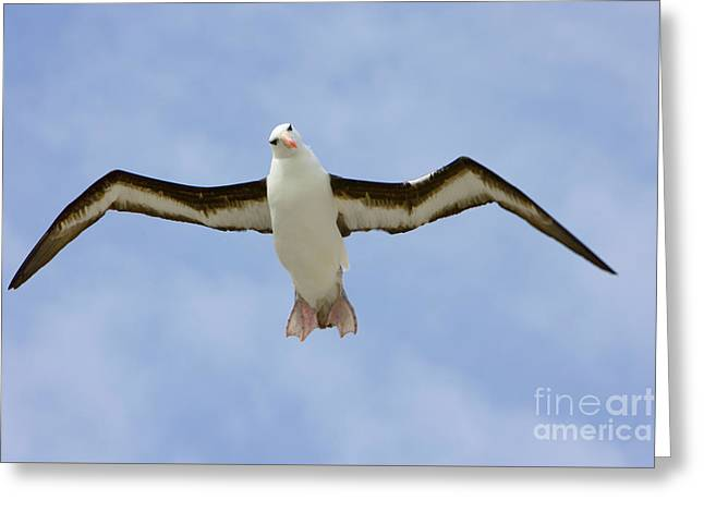 Black-browed Albatross Flying Greeting Card by Yva Momatiuk John Eastcott