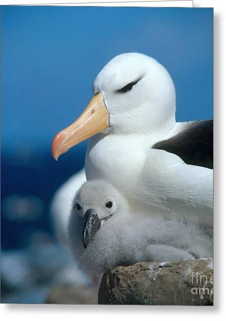 Black-browed Albatross Greeting Card by Hans Reinhard