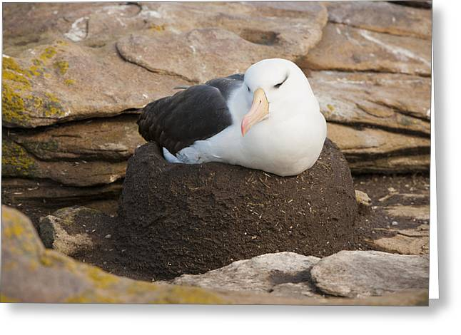 Black-browed Albatross Nesting Greeting Card by John Shaw
