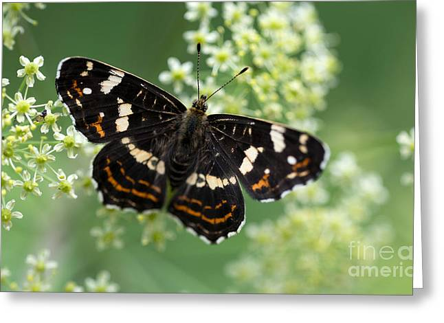Black Butterfly On White Flowers Greeting Card