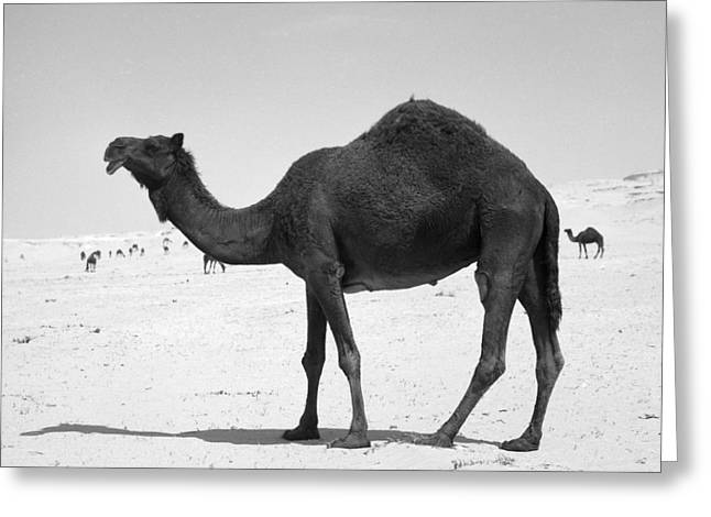 Black Camel In Qatar Greeting Card by Paul Cowan