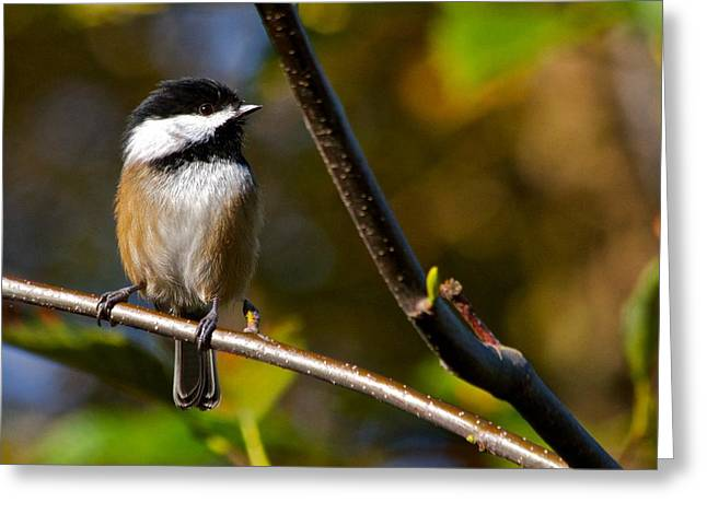 Black Cap Chick-a-dee Greeting Card by Scott Holmes