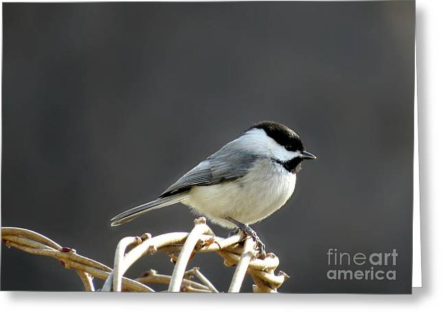 Black-capped Chickadee Greeting Card by Brenda Bostic