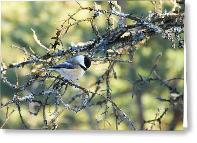 Black Capped Chickadee Greeting Card by Debbie Oppermann