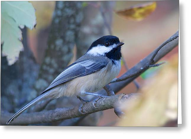 Black-capped Chickadee Greeting Card by Nature and Wildlife Photography
