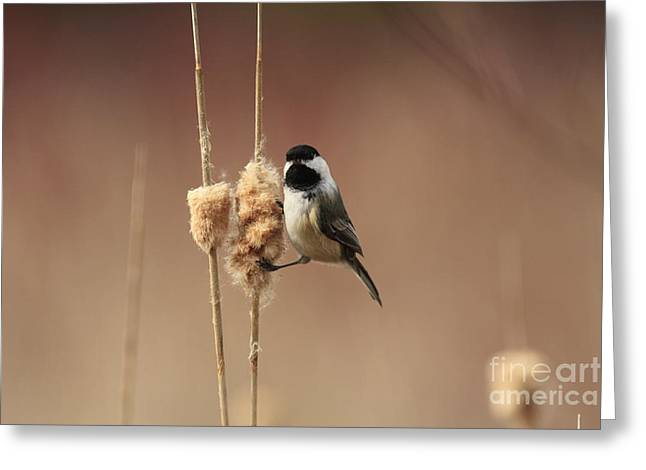 Black Capped Chickadee In The Marsh Greeting Card