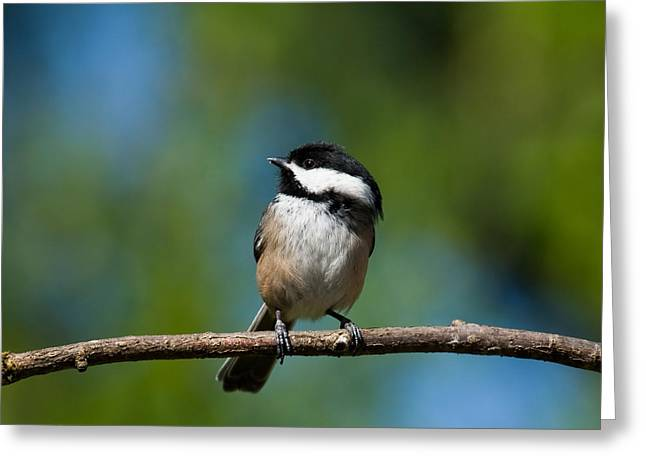 Black Capped Chickadee Perched On A Branch Greeting Card