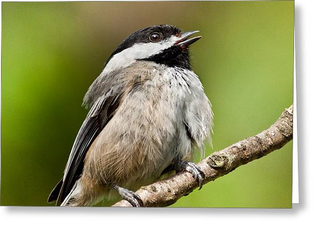 Black Capped Chickadee Singing Greeting Card