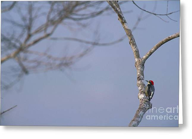 Black-cheeked Woodpecker Greeting Card by Art Wolfe