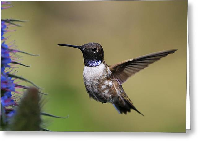 Black-chin Humming Bird Greeting Card