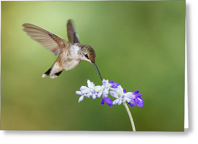 Black-chinned Hummingbird Feeding Greeting Card by Larry Ditto