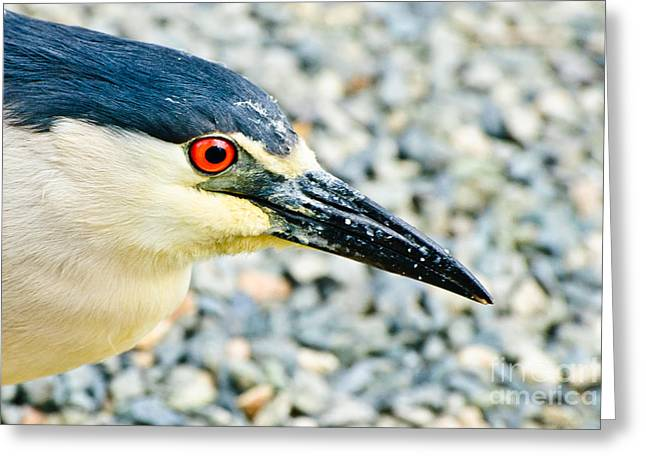 Black Crowned Night Heron 2 Greeting Card by Bob and Nadine Johnston