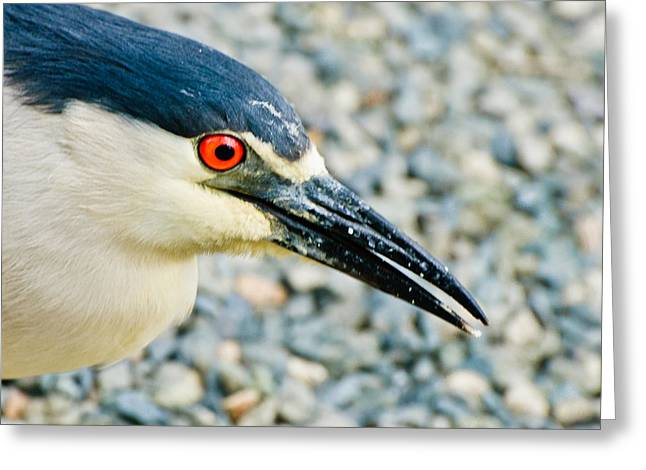 Black Crowned Night Heron 3 Greeting Card by Bob and Nadine Johnston