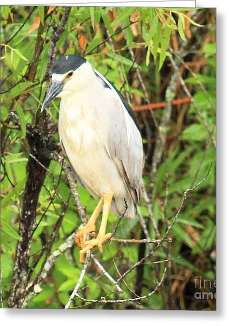 Black Crowned Night Heron Greeting Card by Adam Jewell