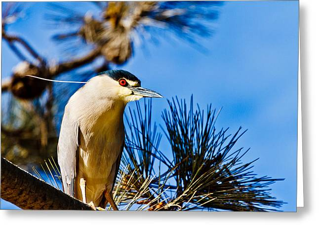 Black Crowned Night Heron Greeting Card