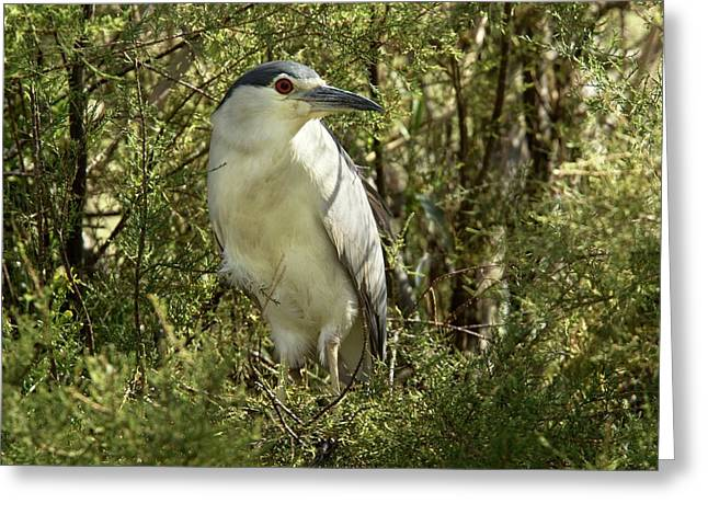 Black-crowned Night Heron In A Tree Greeting Card by Bob Gibbons