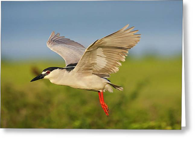 Black-crowned Night-heron (nycticorax Greeting Card by Larry Ditto