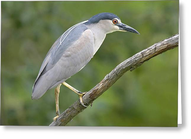 Black-crowned Night Heron Vajta Hungary Greeting Card by Joke Stuurman