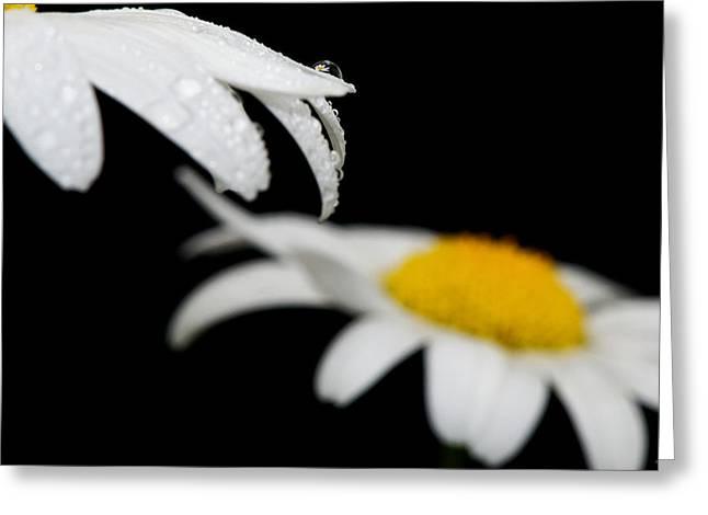 Black Daisy Reflection Greeting Card by Lisa Knechtel