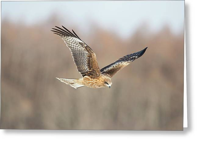 Black-eared Kite In Flight Greeting Card