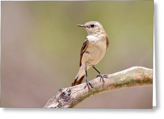 Black-eared Wheatear Greeting Card by Dr P. Marazzi