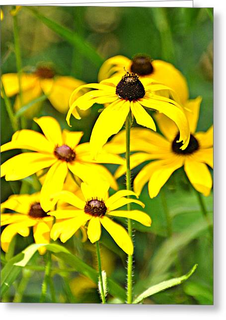 Black Eyed Susan 1 Greeting Card by Marty Koch