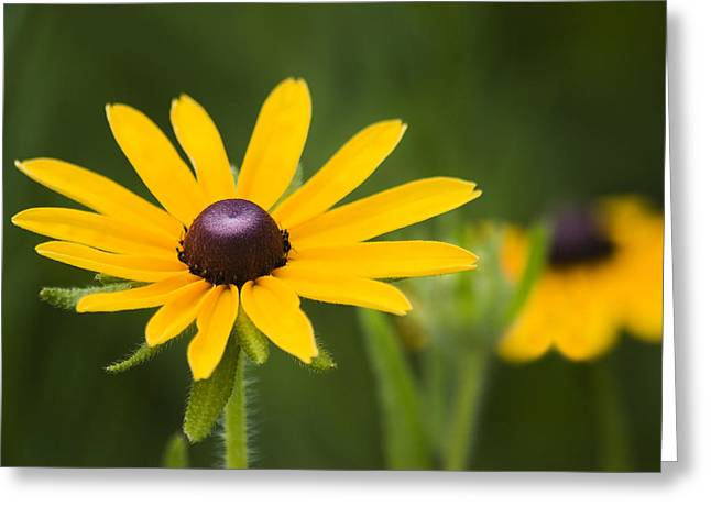 Black Eyed Susan Greeting Card by Adam Romanowicz