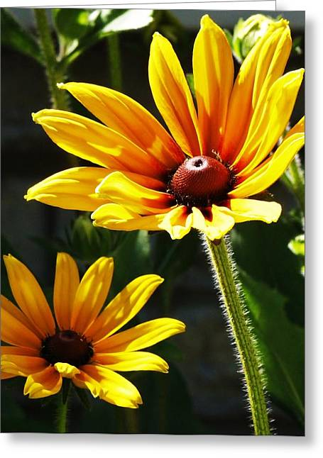 Greeting Card featuring the photograph Black Eyed Susan by Al Fritz