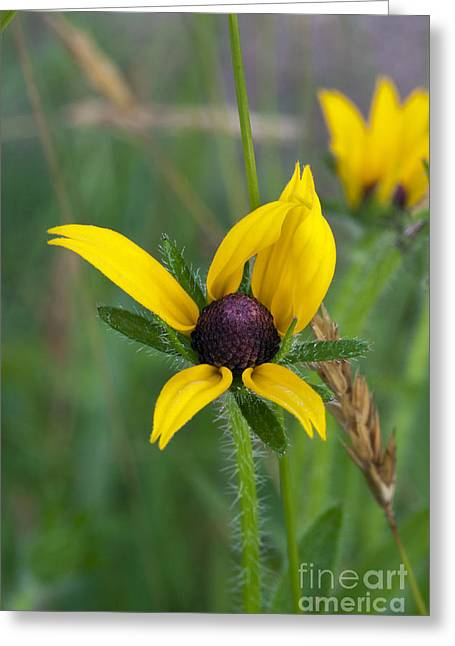 Black-eyed Susan Greeting Card by Gail Jankus