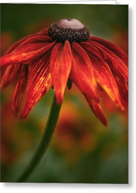 Black-eyed Susan Greeting Card by Jacqui Boonstra