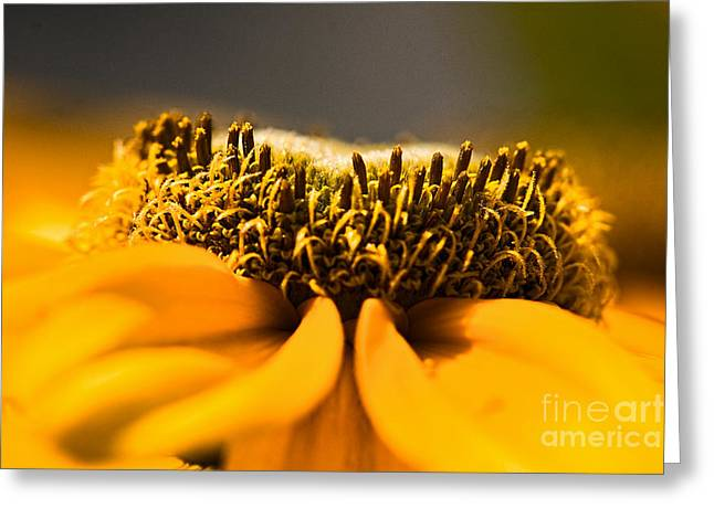 Black Eyed Susan Setting Seed Greeting Card