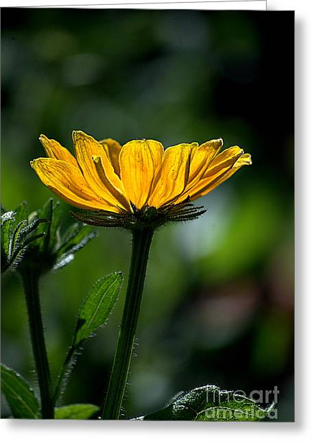 Black Eyed Susan Greeting Card by Sharon Elliott