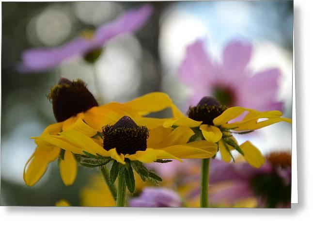 Black-eyed Susans In Focus Greeting Card by Dakota Light Photography By Dakota