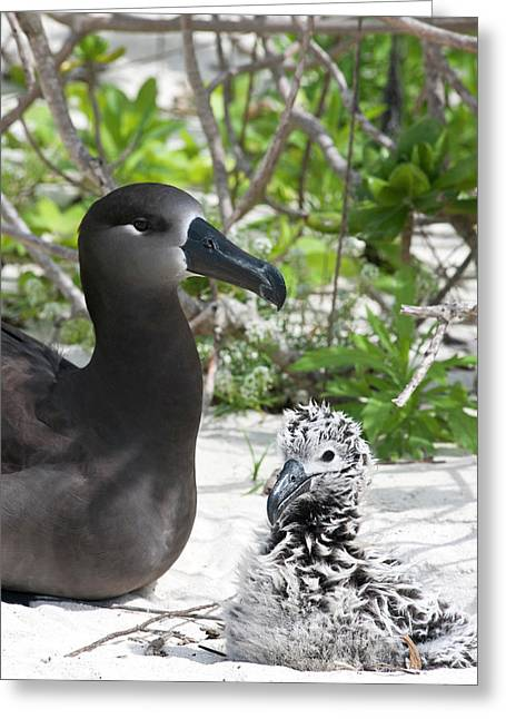 Black-footed Albatross (phoebastria Greeting Card by Daisy Gilardini